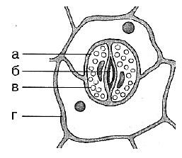 Биология Тест. Клеточное строение листа